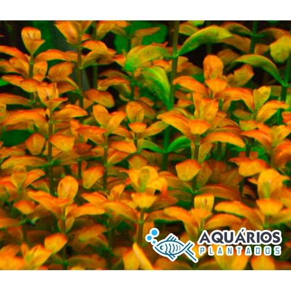 """Bacopa sp. """"Red"""""""
