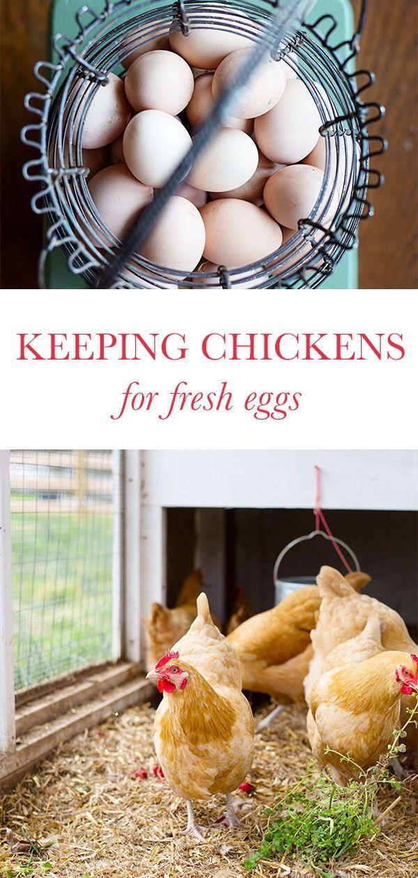Raising Backyard Chickens For Eggs in 2020 | Raising ...
