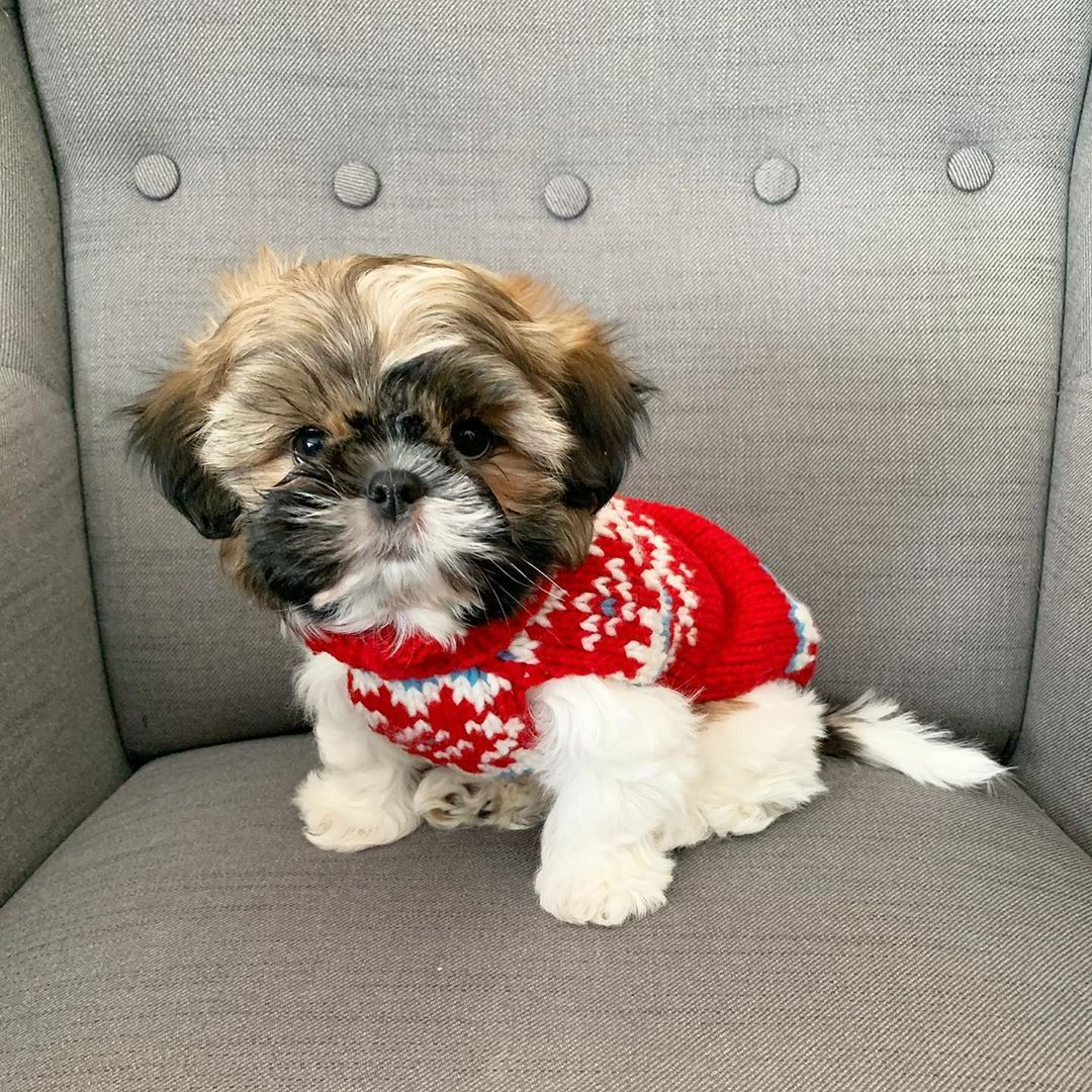 Pin By Candice Croissant On My Favorite Shih Tzu's In 2020