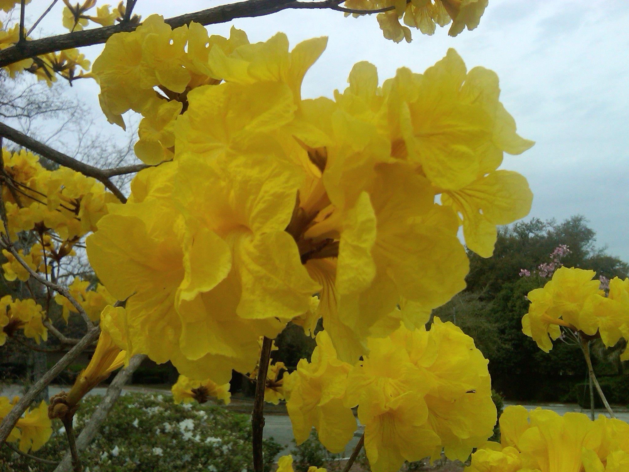 Golden trumpet tree in florida flowering trees tree plants
