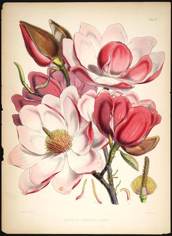 Image of Illustration of Magnolia Campbellii IV