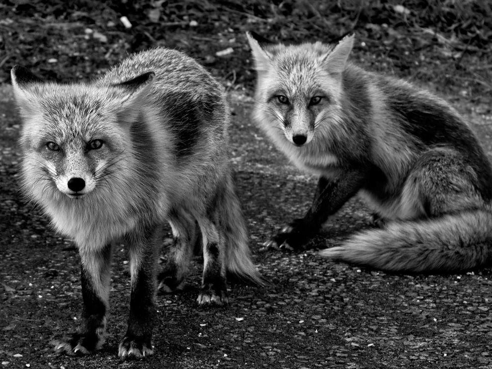 Photo Of The Day Fox Pictures Animals Animal Wallpaper