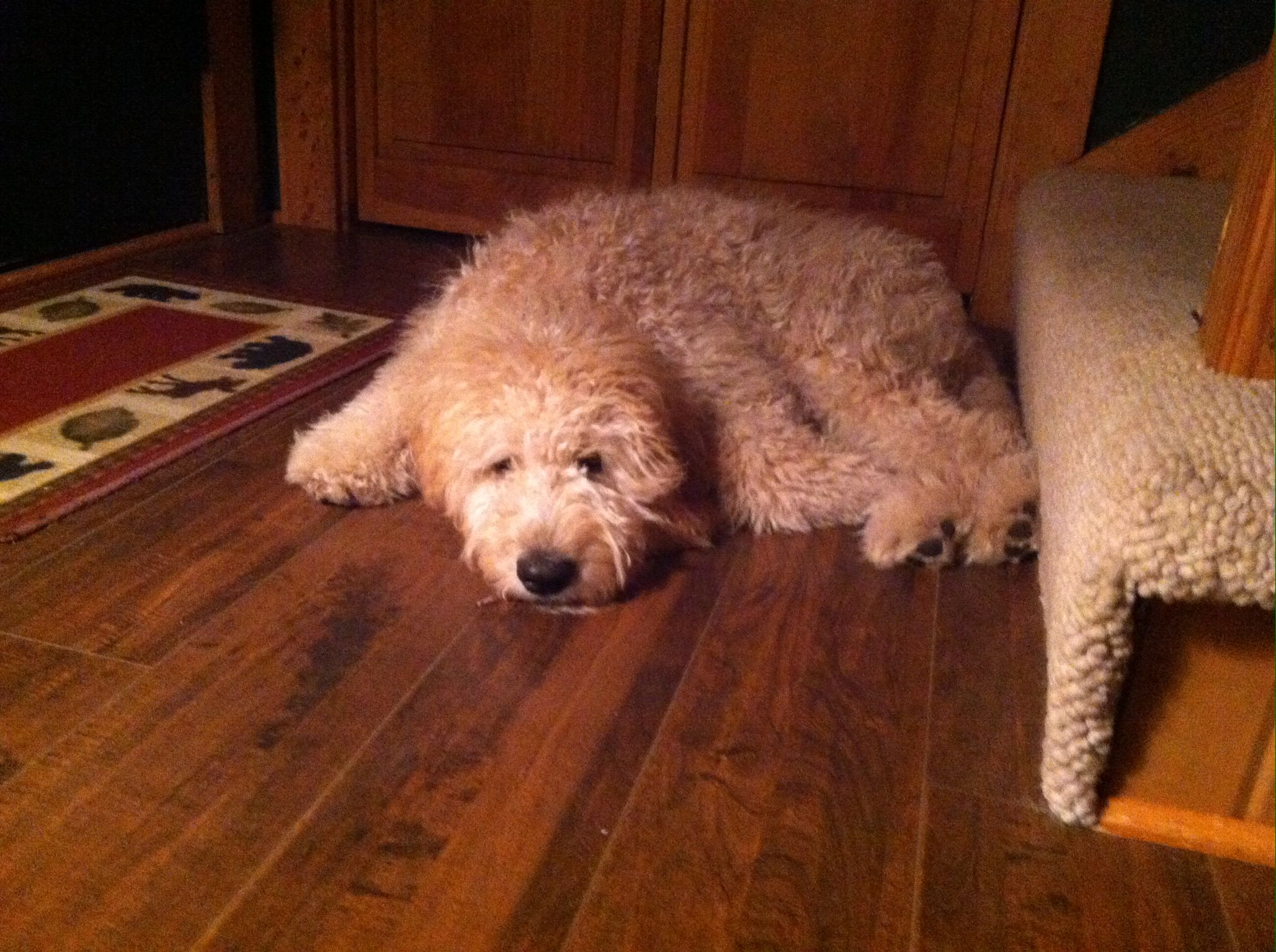 I need to go out so I can come back in again. #goldendoodle
