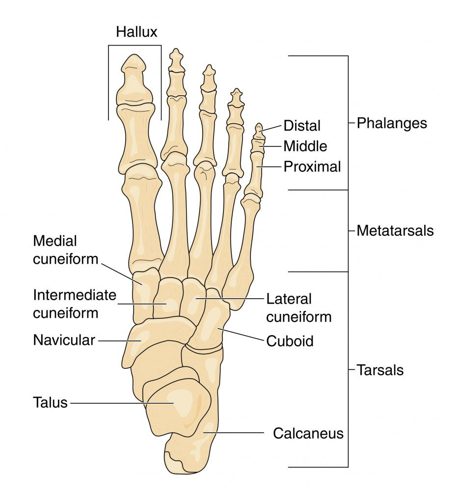 Anatomy of right foot skeleton - www.anatomynote.com | Anatomy note ...