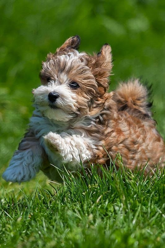 Top 10 Healthiest Dog Breeds