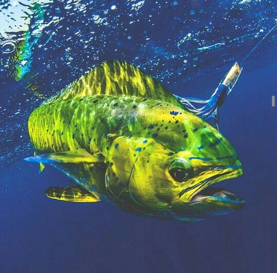 Mahi Mahi Amazing Colors Saltwater Saltwater Fishing Sea