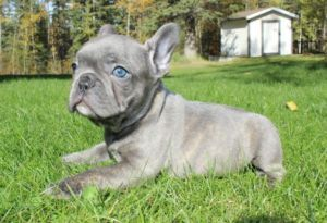 Silver French Bulldog Puppy Cute Animals French Bulldog