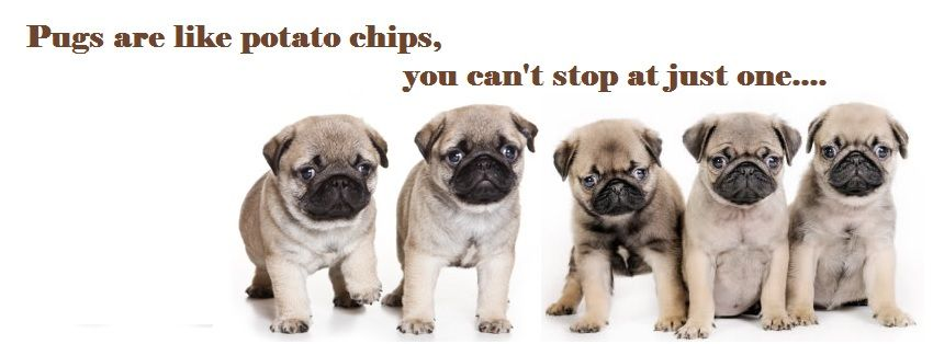 Pug Facebook Cover Photo For Your Timeline Pug Quotes Pug Love