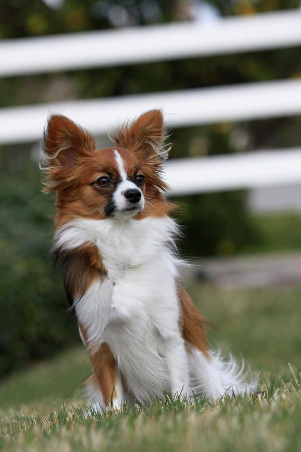 Papillon By Shelly Obrien Papillon Dog Papillon Dog Puppy Papillion Puppies