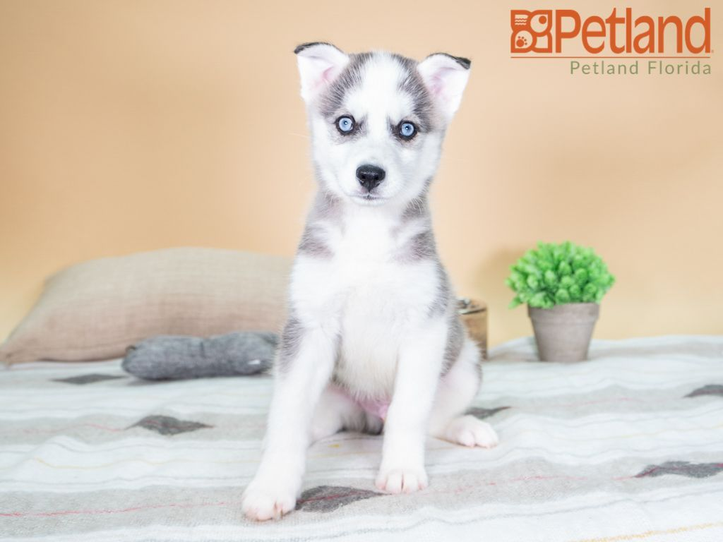 Petland Florida Has Huskimo Puppies For Sale Check Out All Our Available Puppies Aussie Puppy Doglover Adorab Puppy Friends Puppies For Sale Dog Lovers