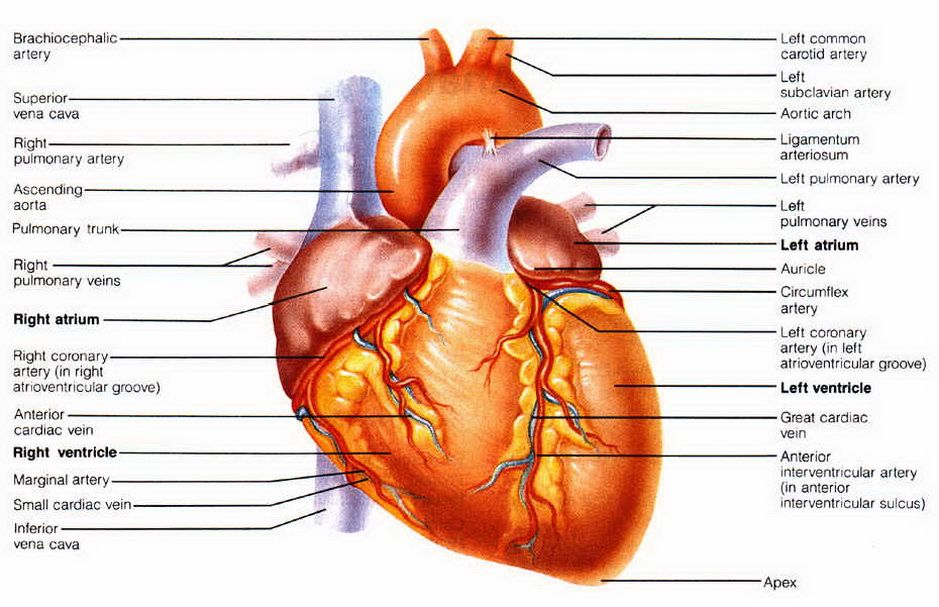 Picture Human Heart Valves Aol Image Search Results Heart Valves Heart Valves Anatomy Human Heart