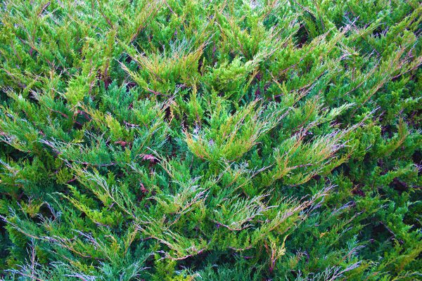 How To Trim Overgrown Juniper Overgrown Evergreen Bush Pruning Plants