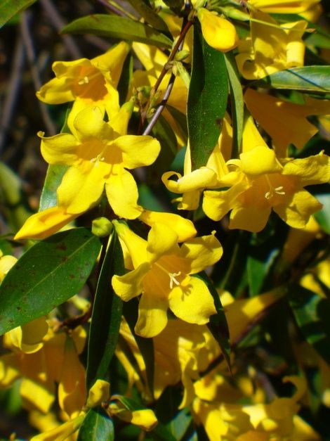 I Want This Carolina Yellow Jessamine Carolina Jasmine Evening