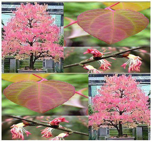 50 Katsura C Japonicum Tree Seeds Japanese Bonsai Gorgeous Fragrant Fall Leaves Myseeds Co Http Www Amazon Com Japanese Bonsai Tree Katsura Tree Tree Seeds