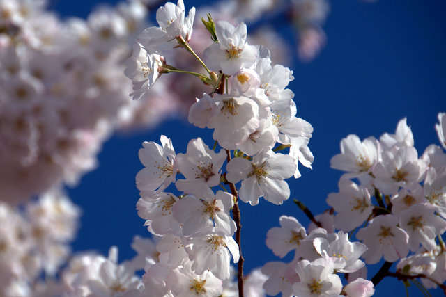 Best Places To See Cherry Blossoms Washington Dc Cherry Blossom Blossom