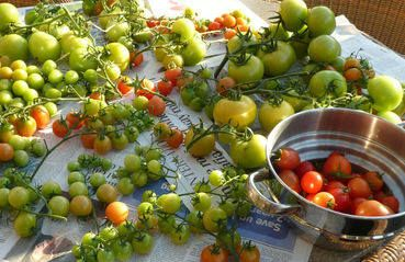 ripening tomatoes in warm place http://sundaygardener.co.uk/how_to_grow_tomatoes.html#ripentoms