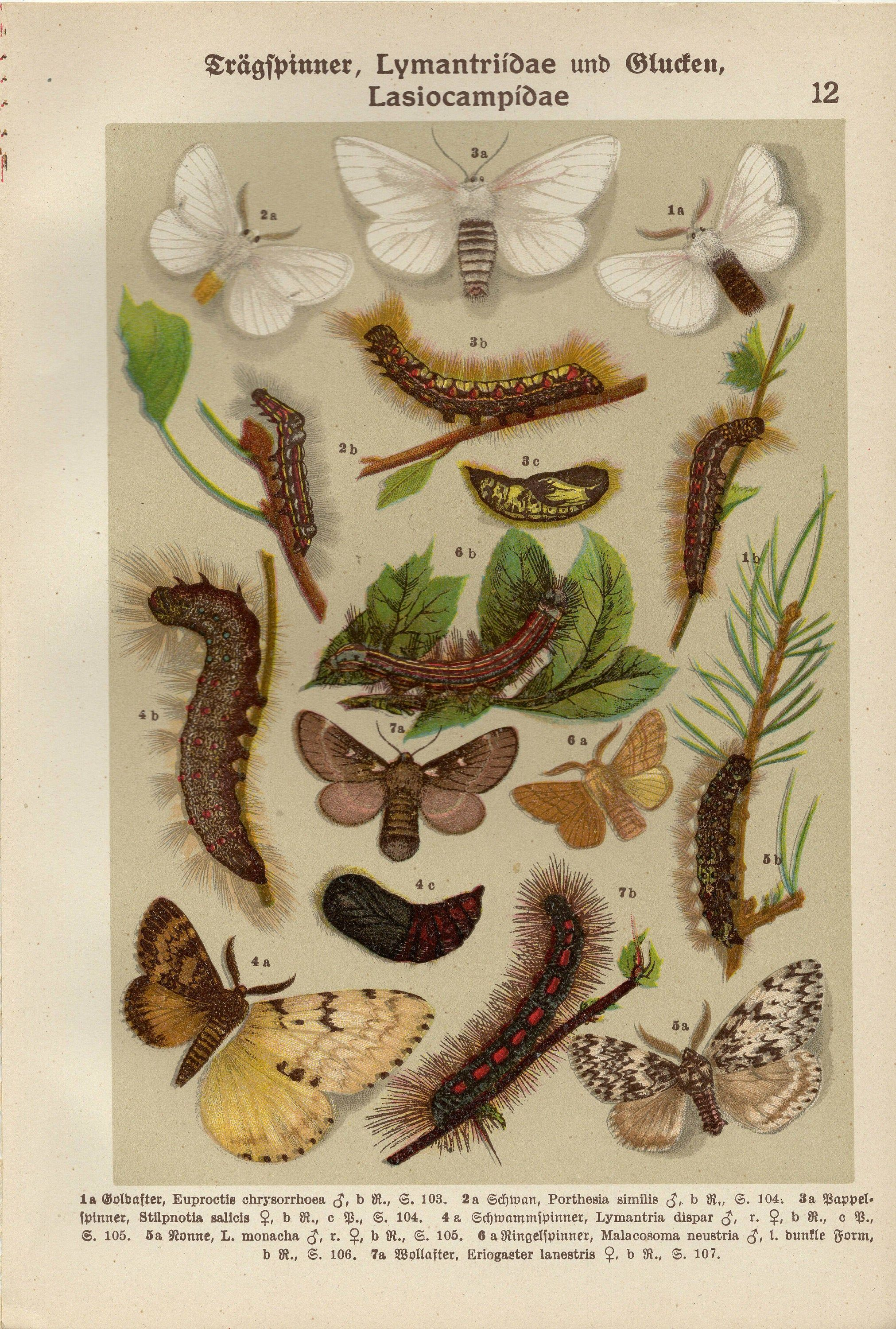 EGGAR LACKEY MOTH Vintage lithograph from 1911 in 2020