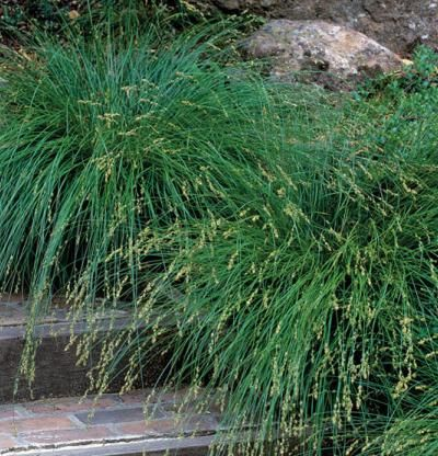 Every gardener needs carex find a variety that works for you drought tolerant grasses and - Drought tolerant grass varieties ...