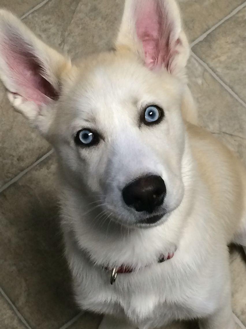 Sweet Little Blue Eyed Huskimo Husky American Eskimo Huskimo