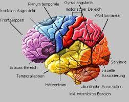 Bildergebnis Fur Gehirn Landkarte Gehirn Aufbau Anatomie Lernen