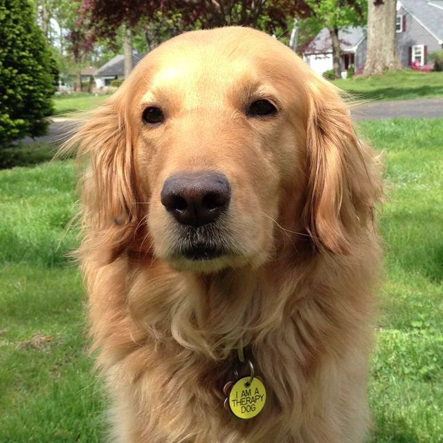 Golden Retriever Therapy Dog Marley Had One Of Those Tags Repin