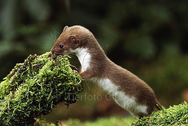 Mauswiesel Wilde Tiere Tiere Saugetiere
