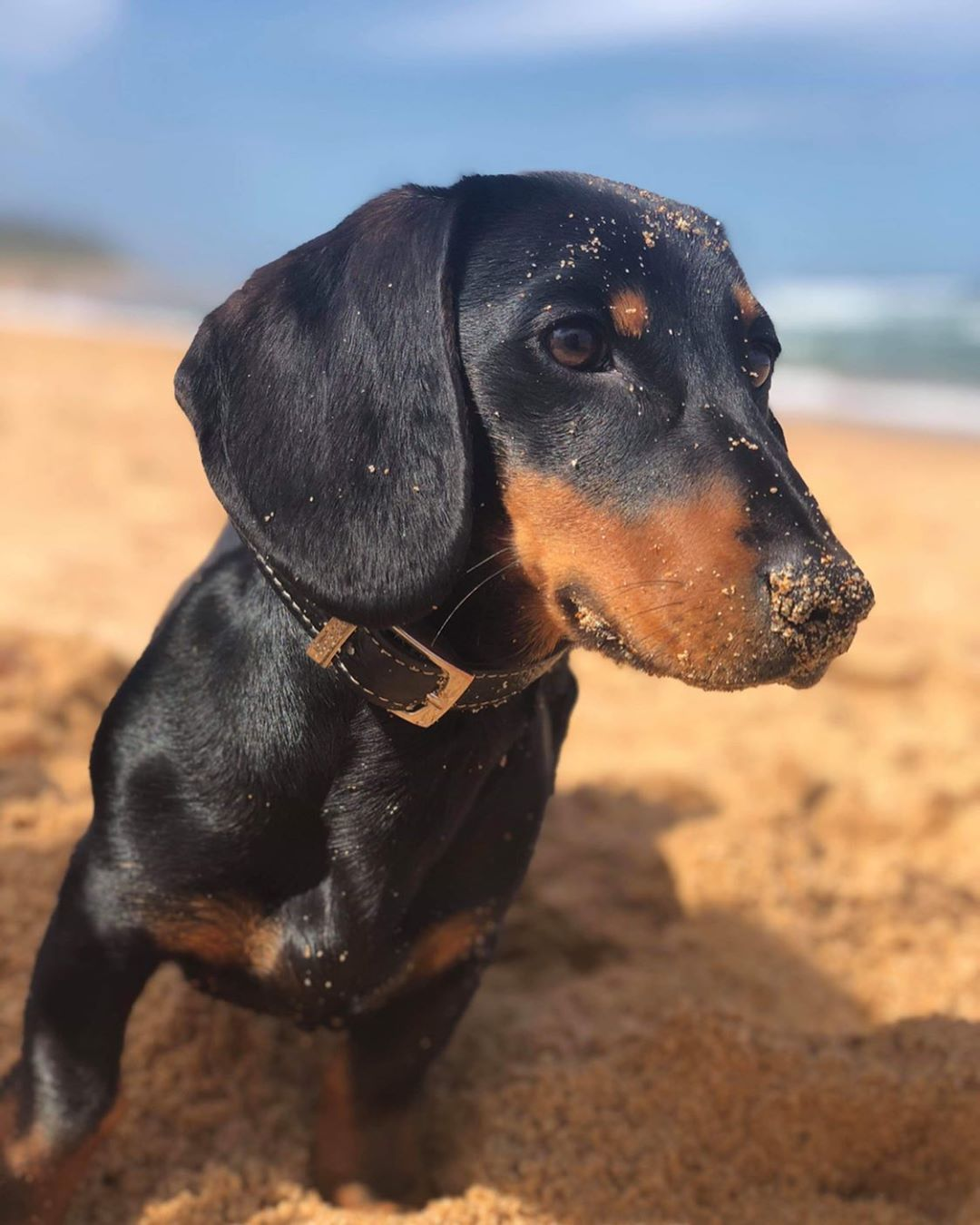 Dachshund Accessories For Dogs Black Tan Dachshund Dachshund