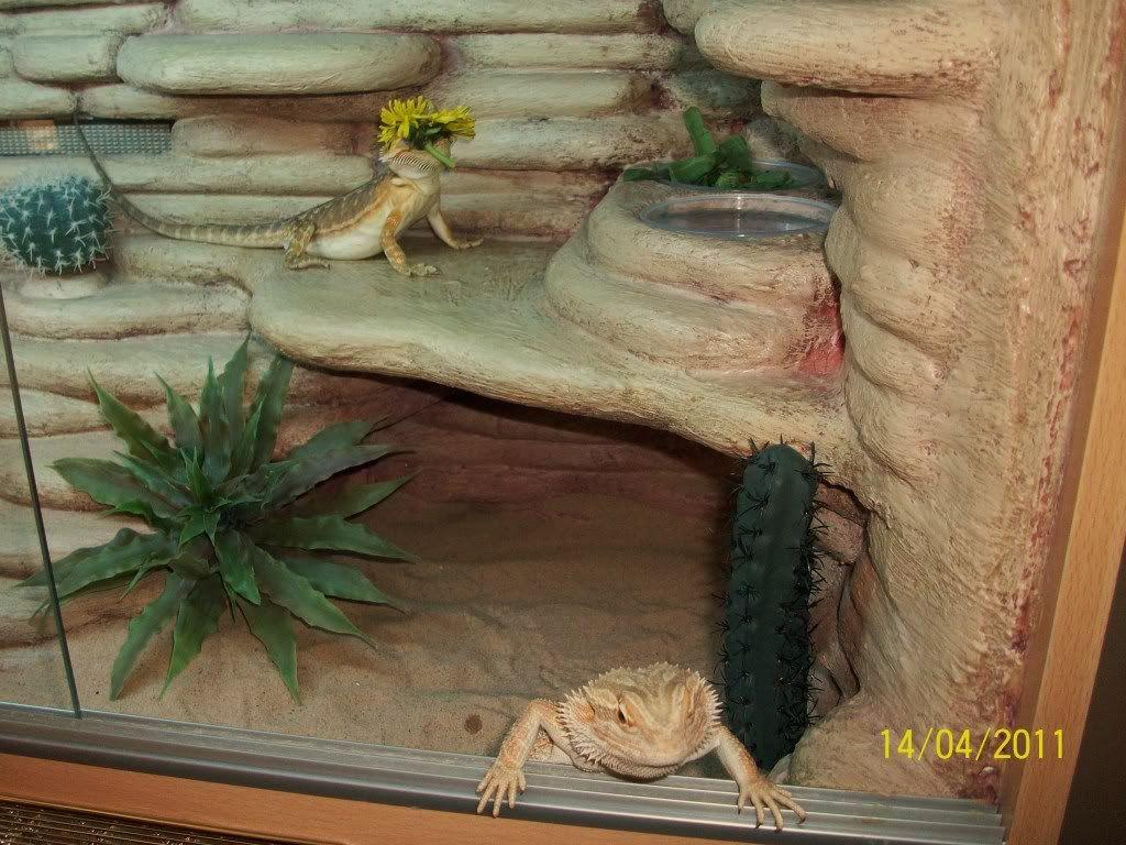 Bearded Dragon Habitat Ideas - Page 4 - Reptile Forums   Reptiles ...
