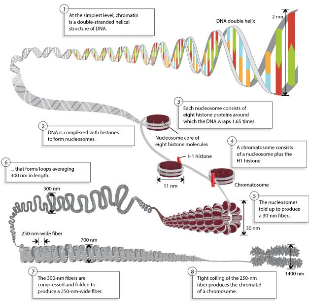 A Double Stranded Dna Molecule Becomes Increasingly More Compact In This Eight Step Schematic Diagram In Step 1 The Dna Doubl Dna Dna Helix Molecular Biology