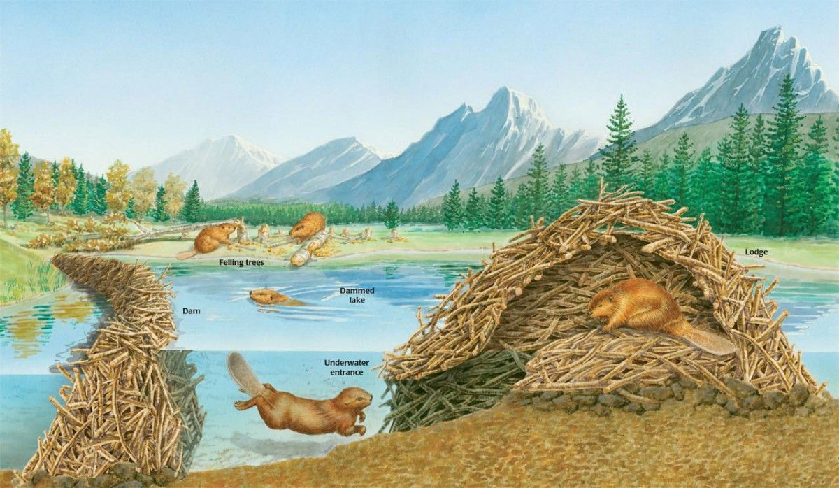 What does a beaver lodge look like
