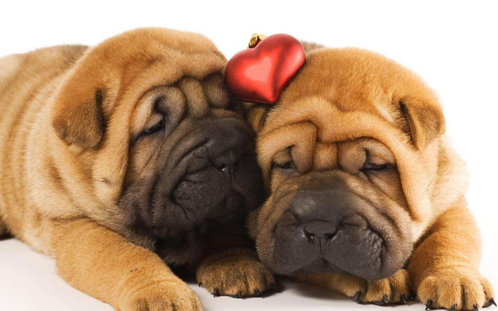 Sharpae Pupp Shar Pei Dog Puppies New Dog Funny Pet Pictures