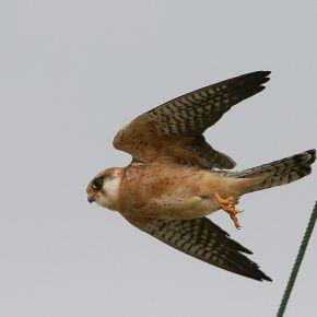 Pesa solo un etto e mezzo, ma ha la potenza di un jumbo. All'inizio del suo viaggio, lo scorso settembre, in tre soli giorni di volo un individuo maschio adulto