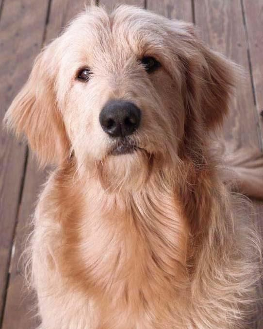 Golden retriever poodle schnauzer