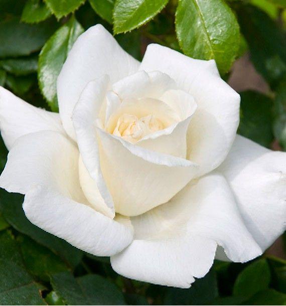 ROSIER BUISSON PAPE JEAN-PAUL II®, plante en ligne ...