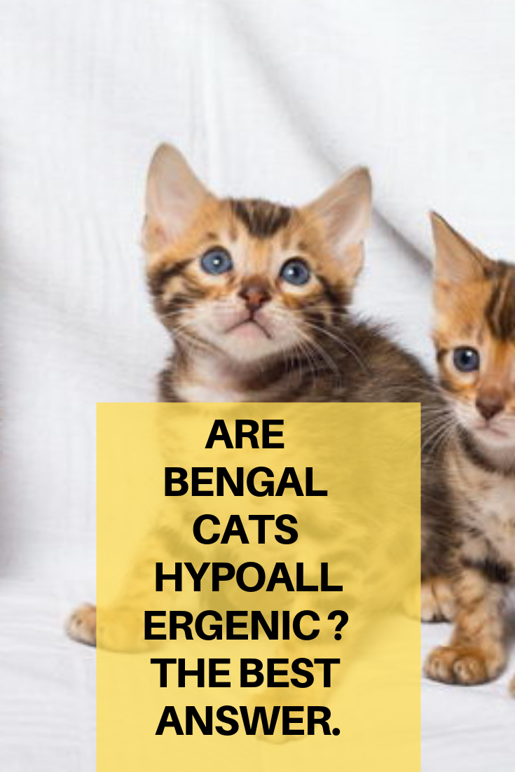 Are Bengal cats Hypoallergenic _ The best Answer. Bengal