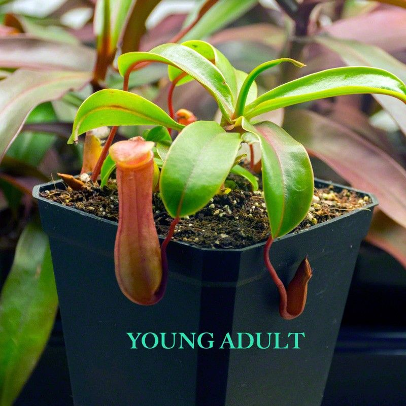 Nepenthes Ventricosa Red - A highland Pitcher Plant that grows really well in a wide range of temperatures including warm/hot climates. Perfect for sunny window sills. The pitchers are round with a slight pinch around the waist. Pitchers will be deep red if given ample sun. #nepenthes #ventricosared #tropical #pitcherplant #highland #forsale