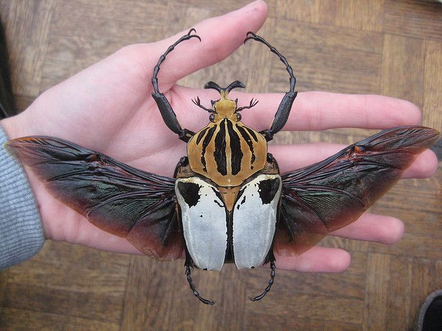 6c8896d0b0c Goliathus cacicus male | Beautiful Crawlies!! | Insects, Bugs ...