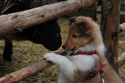 Rory The sheep meeting the future sheepdog. This is too cute! My Sheltie loved my neighbor's horse. One kick was all it took to learn horses won't be herded though. They were still good friends.