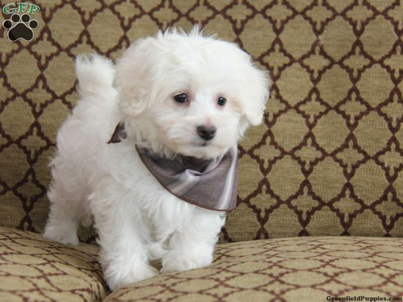 Chet Maltichon Puppy For Sale In Pennsylvania Puppies Designer Dogs Breeds Puppy Paws