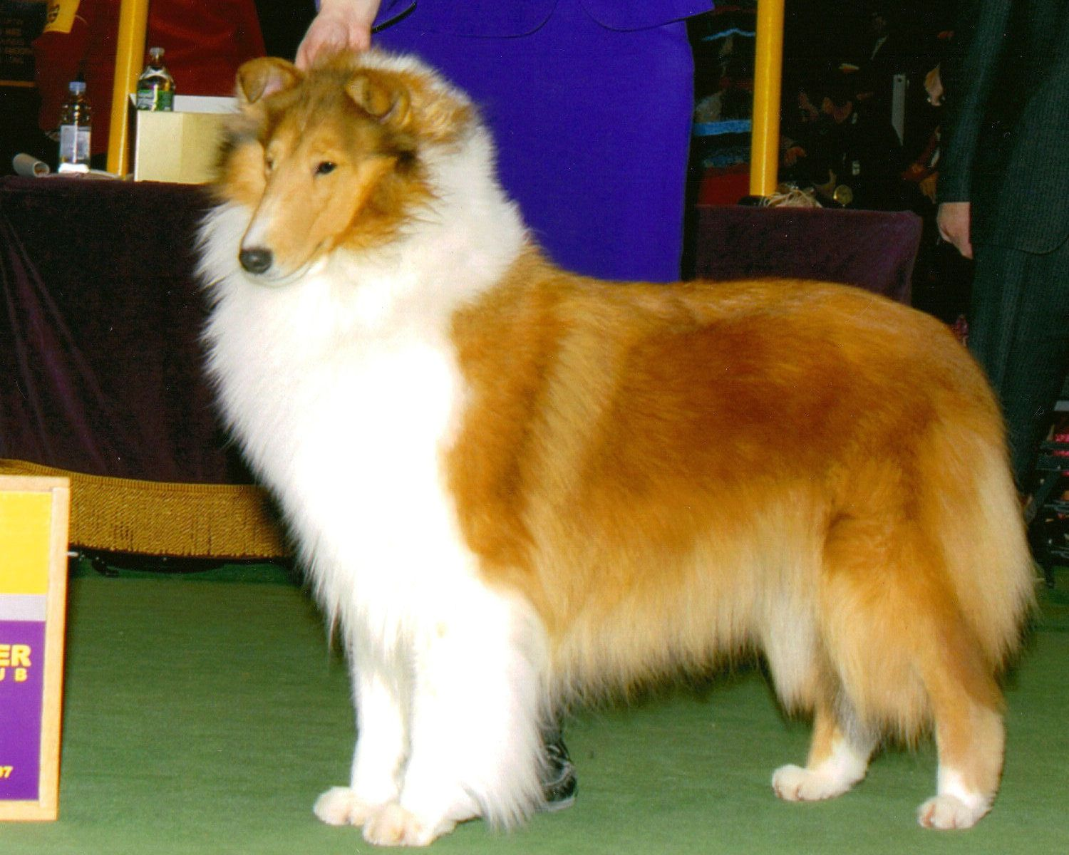 Sable White Rough Collie Rough Collie Collie Collie Puppies