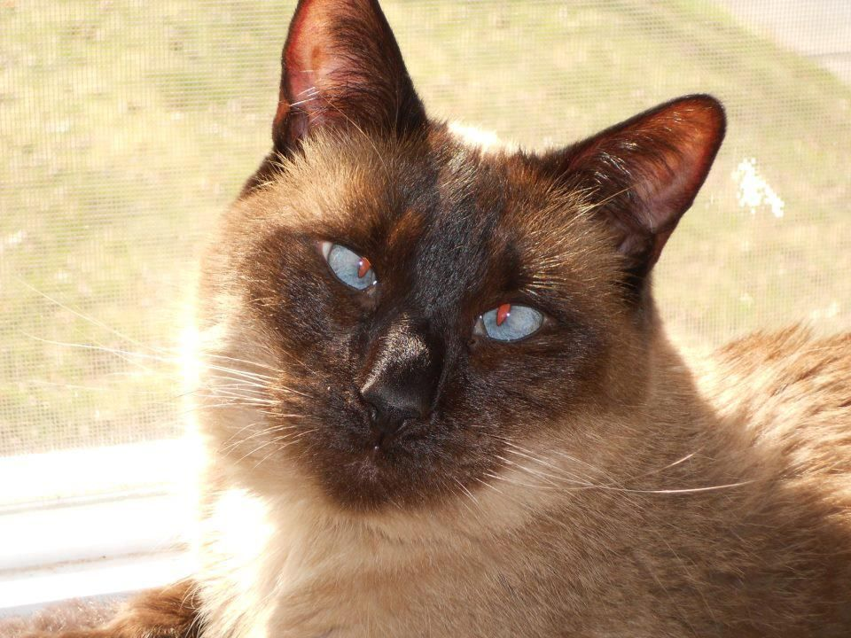 Siamese Orientals Cats Lilac Point Seal Tabby Silver Siamese Seal Point Flame Point Balinese Andtonkinese Oriental Cat Cats Siamese Cats