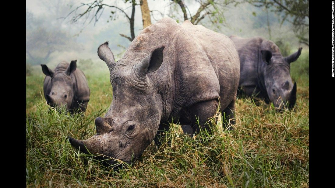 """The night before this photo, we tried all day to get a good photo of the endangered white rhino,"" Berube said. ""Skulking through the grass carefully, trying to stay 30 feet away to be safe, didn't provide me the photo I was hoping for. In the morning, however, I woke up to all three rhinos grazing in front of me."" The photo was taken at the Ziwa Rhino Sanctuary in Uganda."
