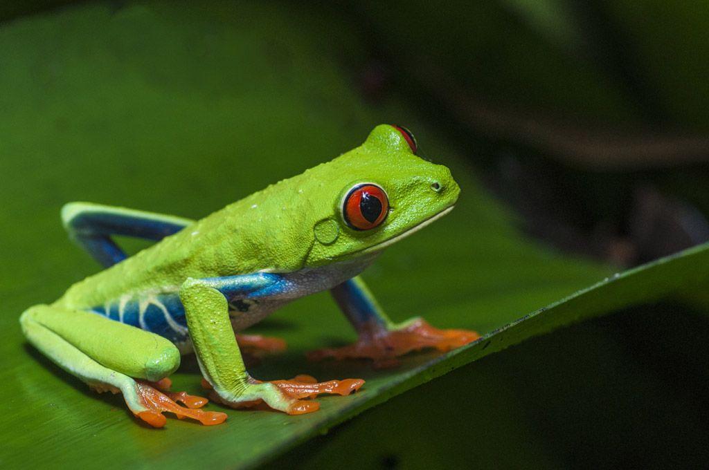 アカメアマガエル iphone Google 検索 Tree frogs, Red eyed tree