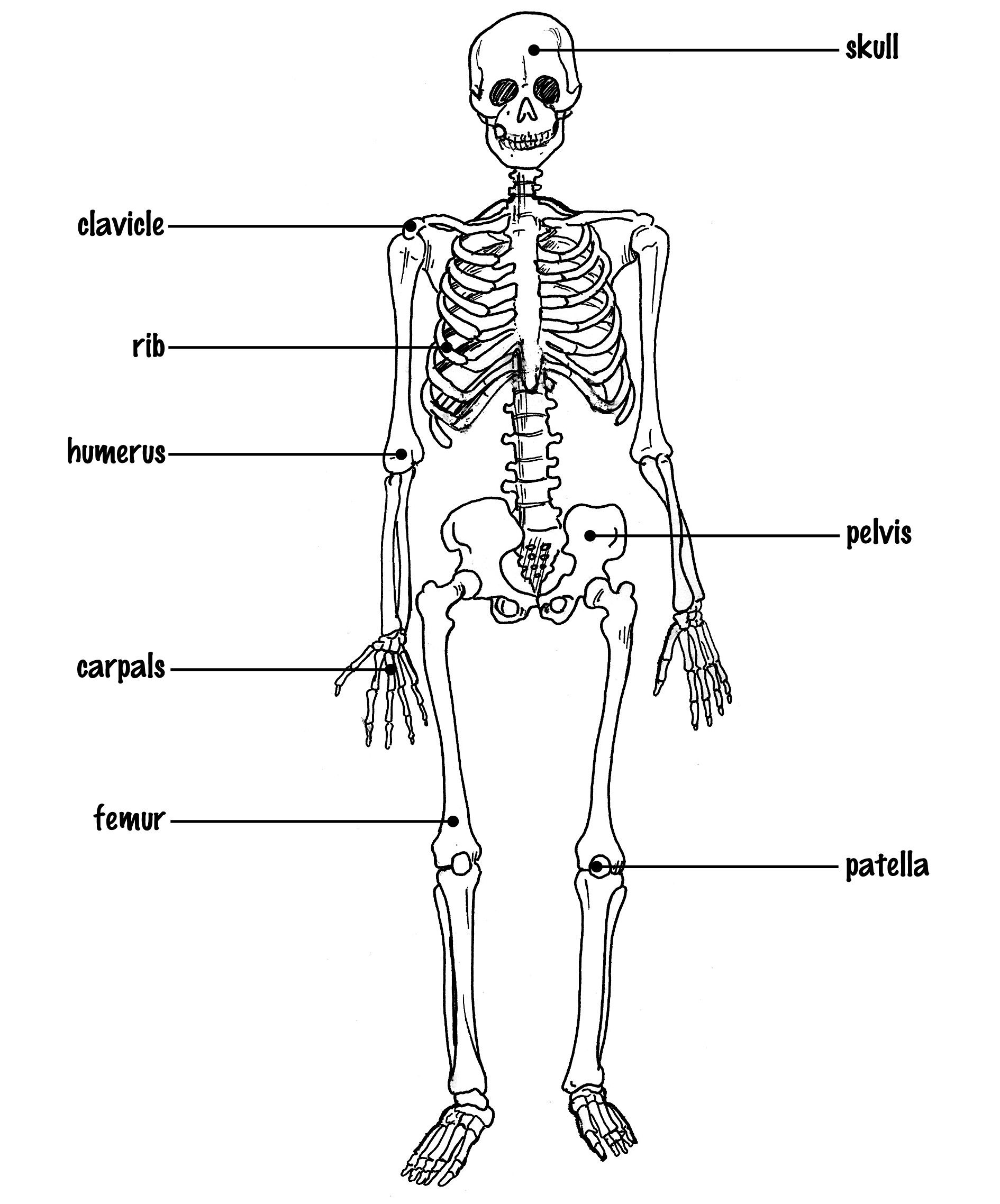 Human Skeleton Diagram With Labels Elegant Simple Human