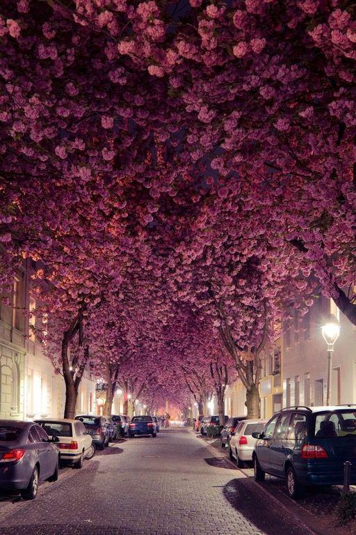 bonn germany Beautiful streets, Blossom trees, Bonn germany