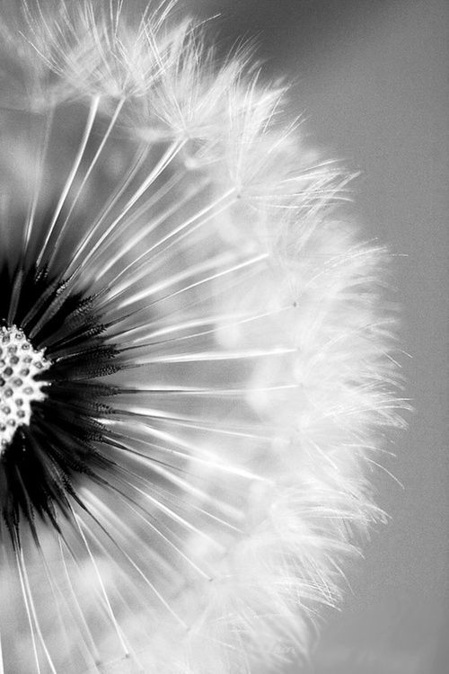 The Art Of Black And White Photography White Photography White Dandelion Dandelion