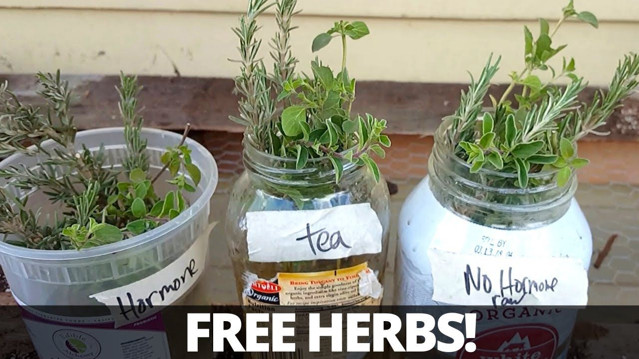 Grow Herbs from Cuttings Rosemary Thyme Oregano in