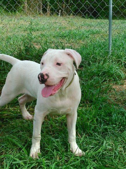Adopt ELLIOT on Pitbull terrier, Dog adoption, Pitbull