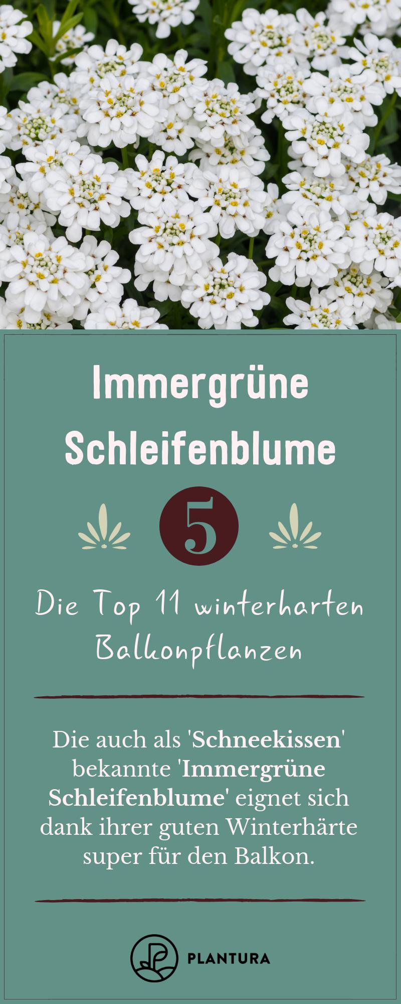 Winterharte Balkonpflanzen: Die Top 11 für Ihren Balkon - Plantura #kletterpflanzenwinterhart