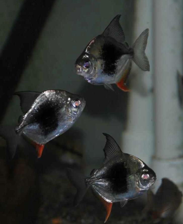 Myleus Lamax Iii Hybrid Aquarium Fish Fish Pet Pets